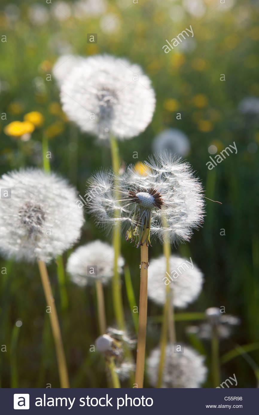 The Netherlands, Loon op Zand, Dandelion pappus. - Stock Image