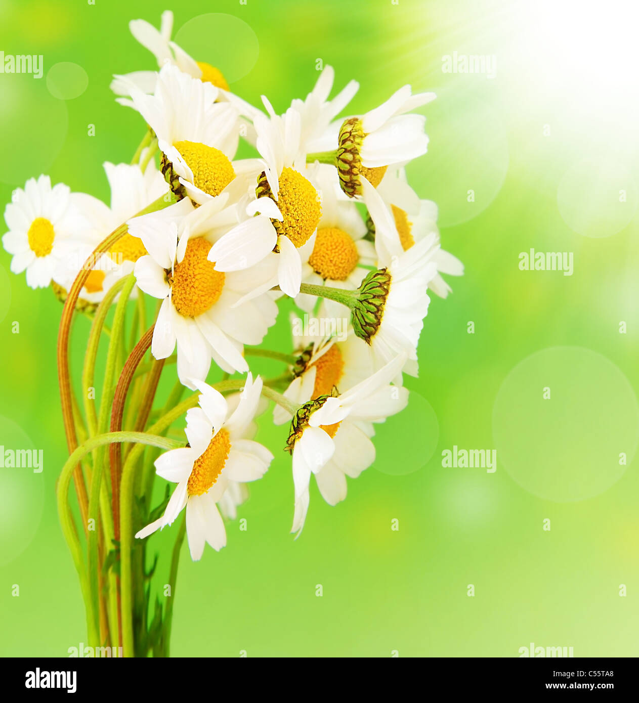 Fresh Daisy Flowers Bouquet Isolated Over Green Bokeh Background At