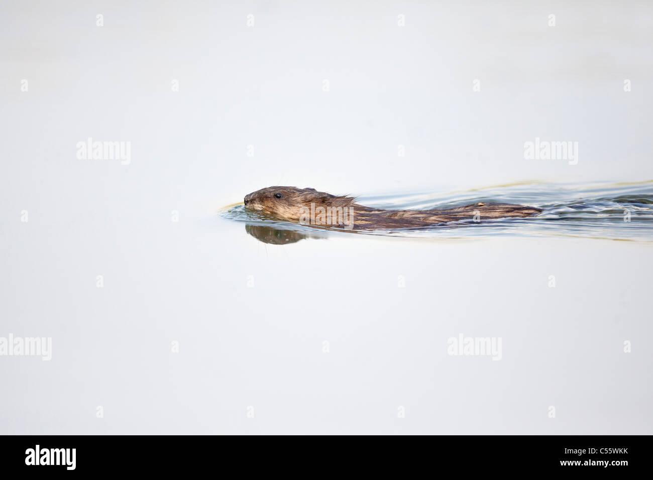 The Netherlands, Werkendam, De Biesbosch national park. Muskrat, Ondatra zibethicus, swimming. - Stock Image