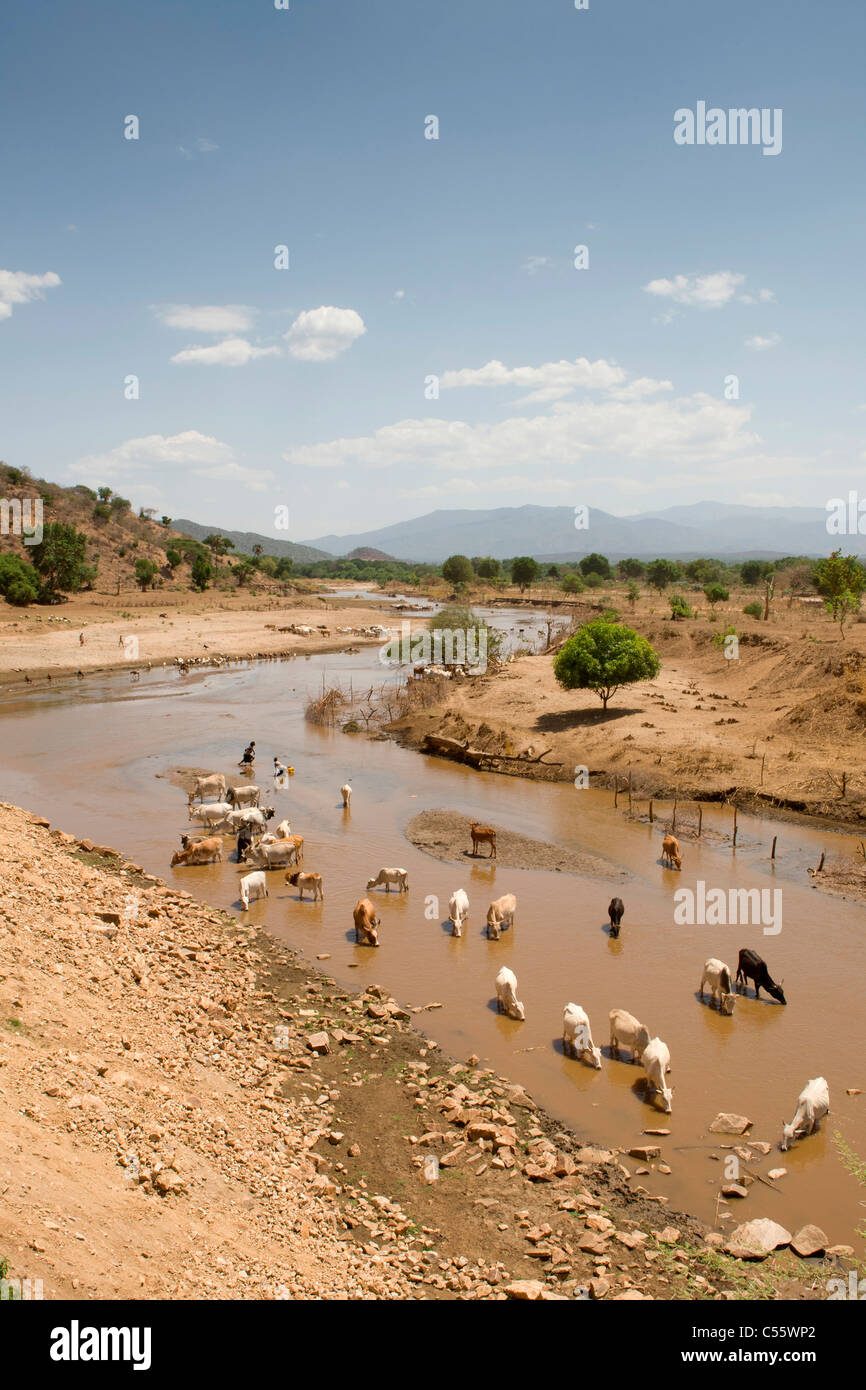 Cattle drinking at a river in the Lower Omo Valley, Ethiopia. - Stock Image