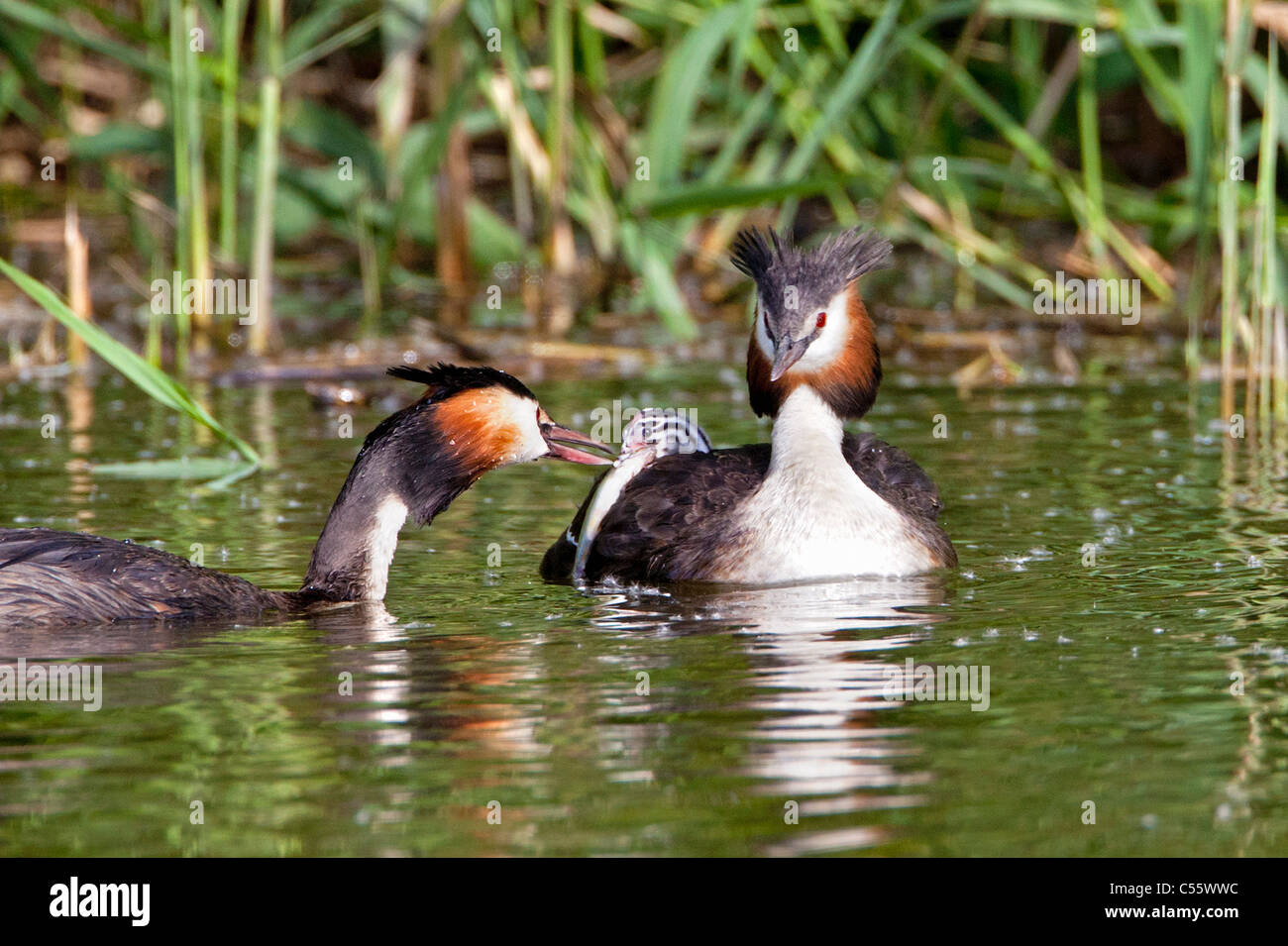 De Biesbosch national park. Great Crested Grebes, Podiceps cristatus. Male brings fish to young on the back of female. - Stock Image