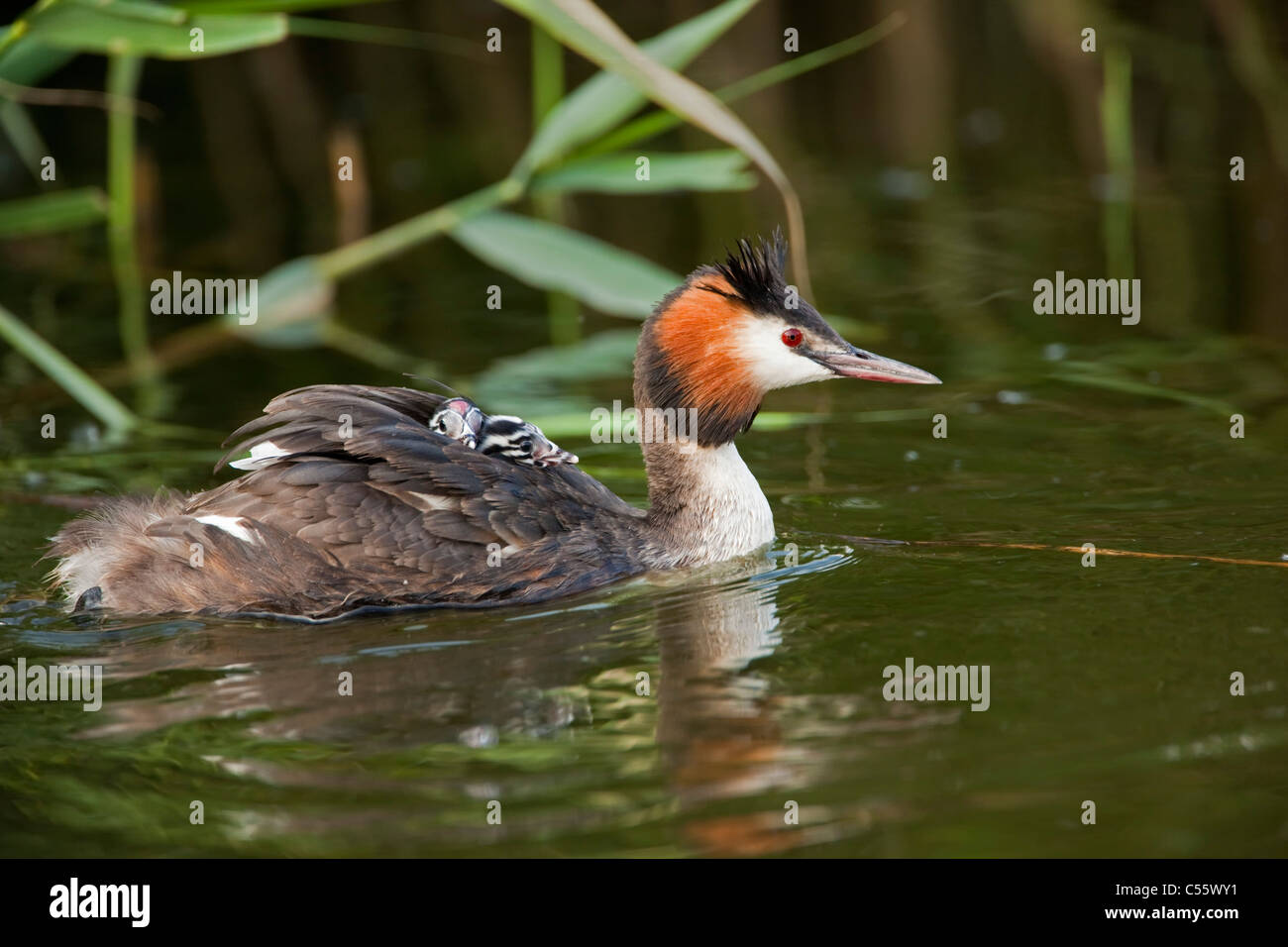 The Netherlands, Werkendam, De Biesbosch national park. Great Crested Grebes, Podiceps cristatus. Young on the back - Stock Image