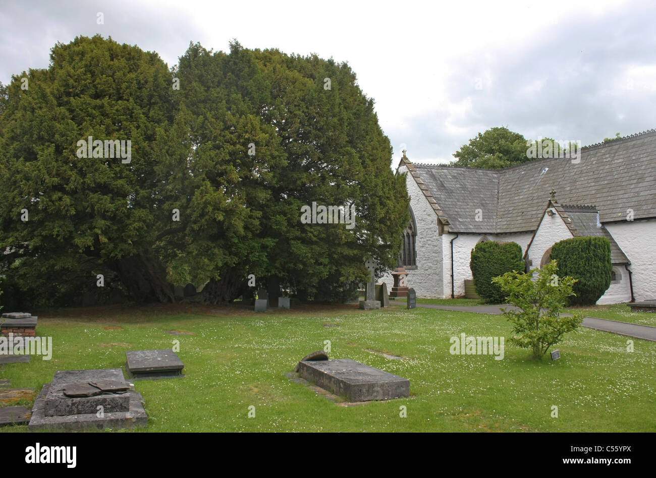 Ancient yew by St Digain's Church in Llangernyw in Wales Stock Photo