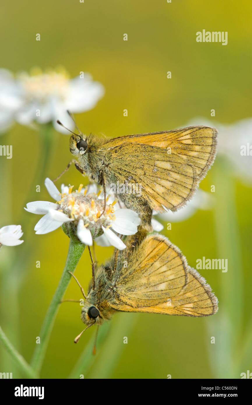 Mating pair of Large Skipper (Ochlodes sylvanus) Stock Photo