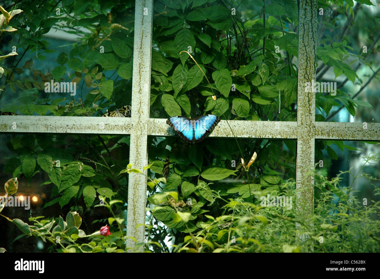 A butterfly lands on the window of a butterfly house in the Bellagio Conservatory and Botanical Gardens. Stock Photo
