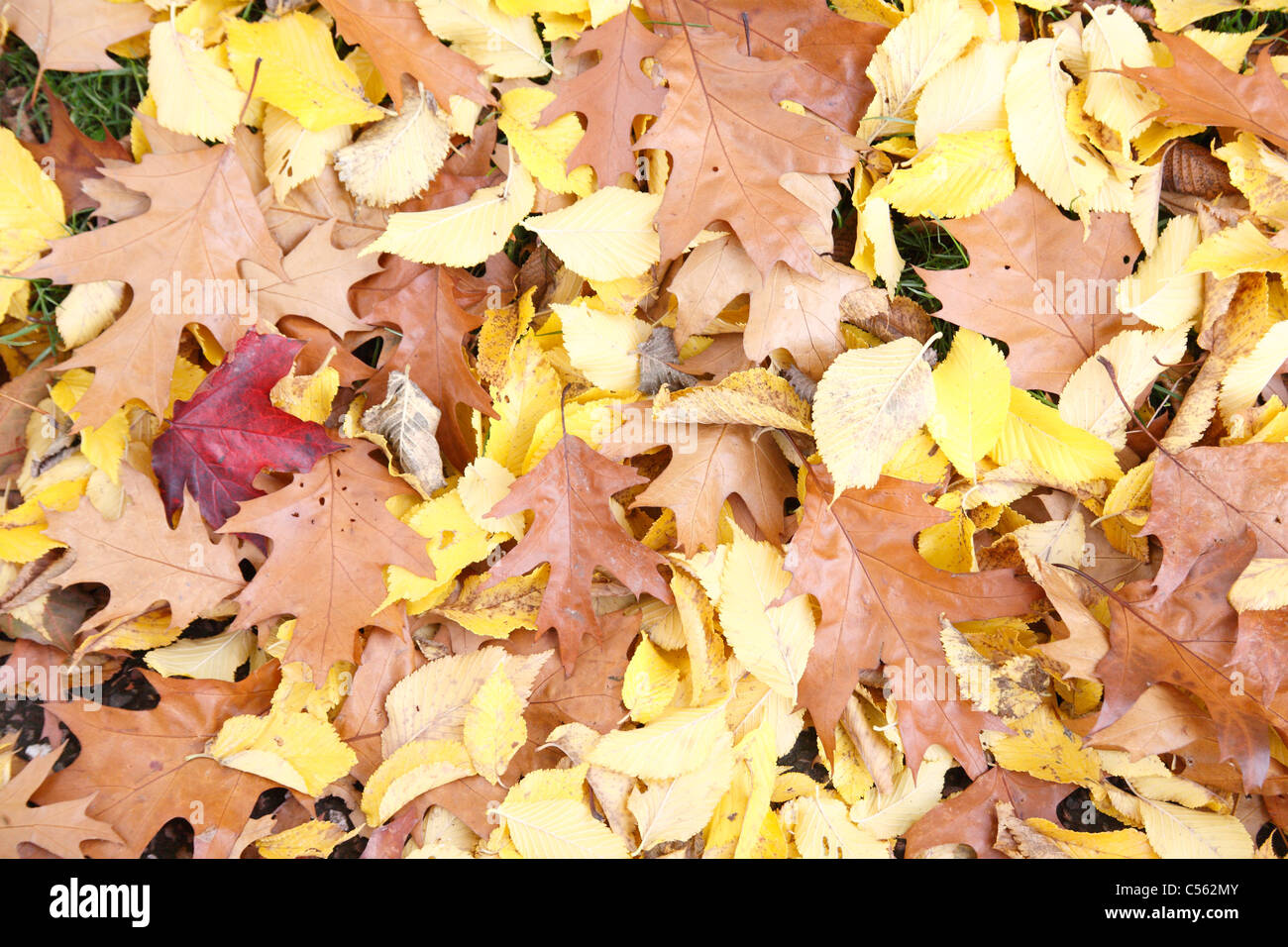 carpet of dry autumn leaves on a lawn UK - Stock Image