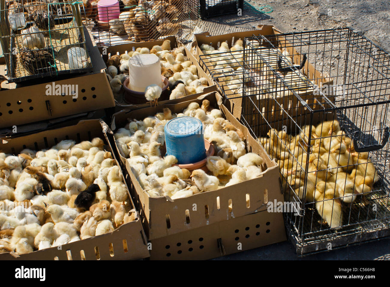 Chicks and ducklings for sale by roadside, Bergama, Turkey - Stock Image