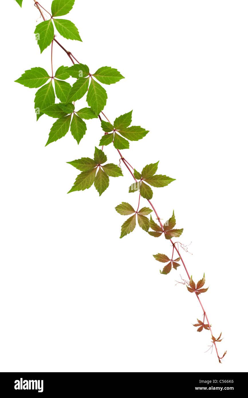 Autumn vine isolated on white background - Stock Image