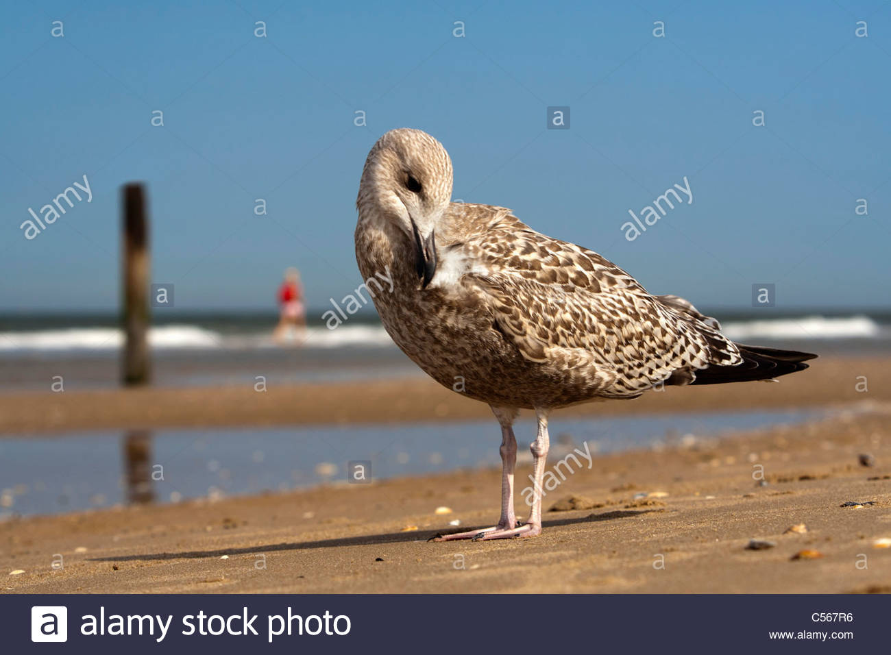 The Netherlands, Zandvoort, Seagull on beach. - Stock Image
