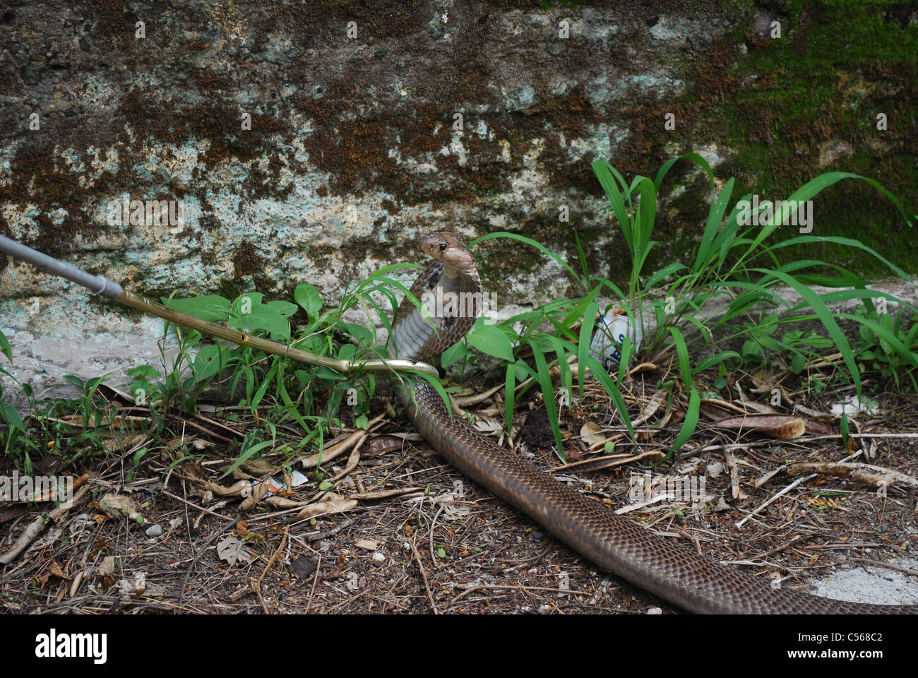 indian spectacled cobra close-up - Stock Image