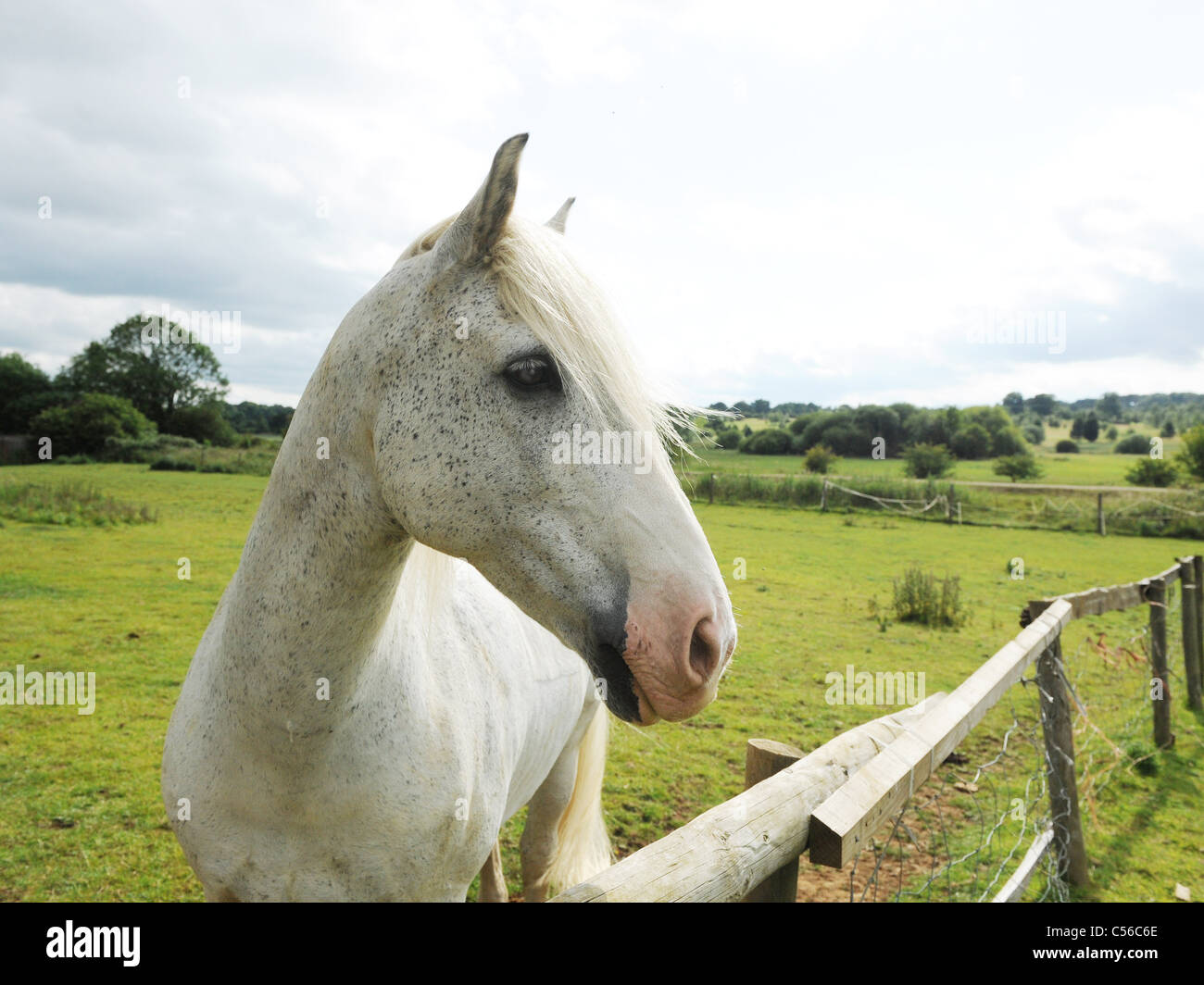 A beautiful white horse alone in a field. - Stock Image
