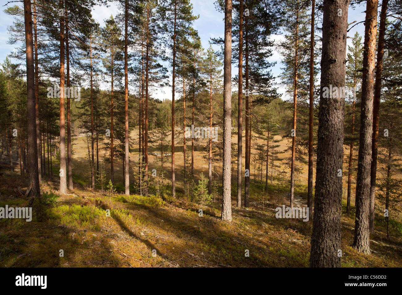 Finnish esker landscape with young pine ( pinus sylvestris ) forest and swamps between esker ridges , Finland - Stock Image