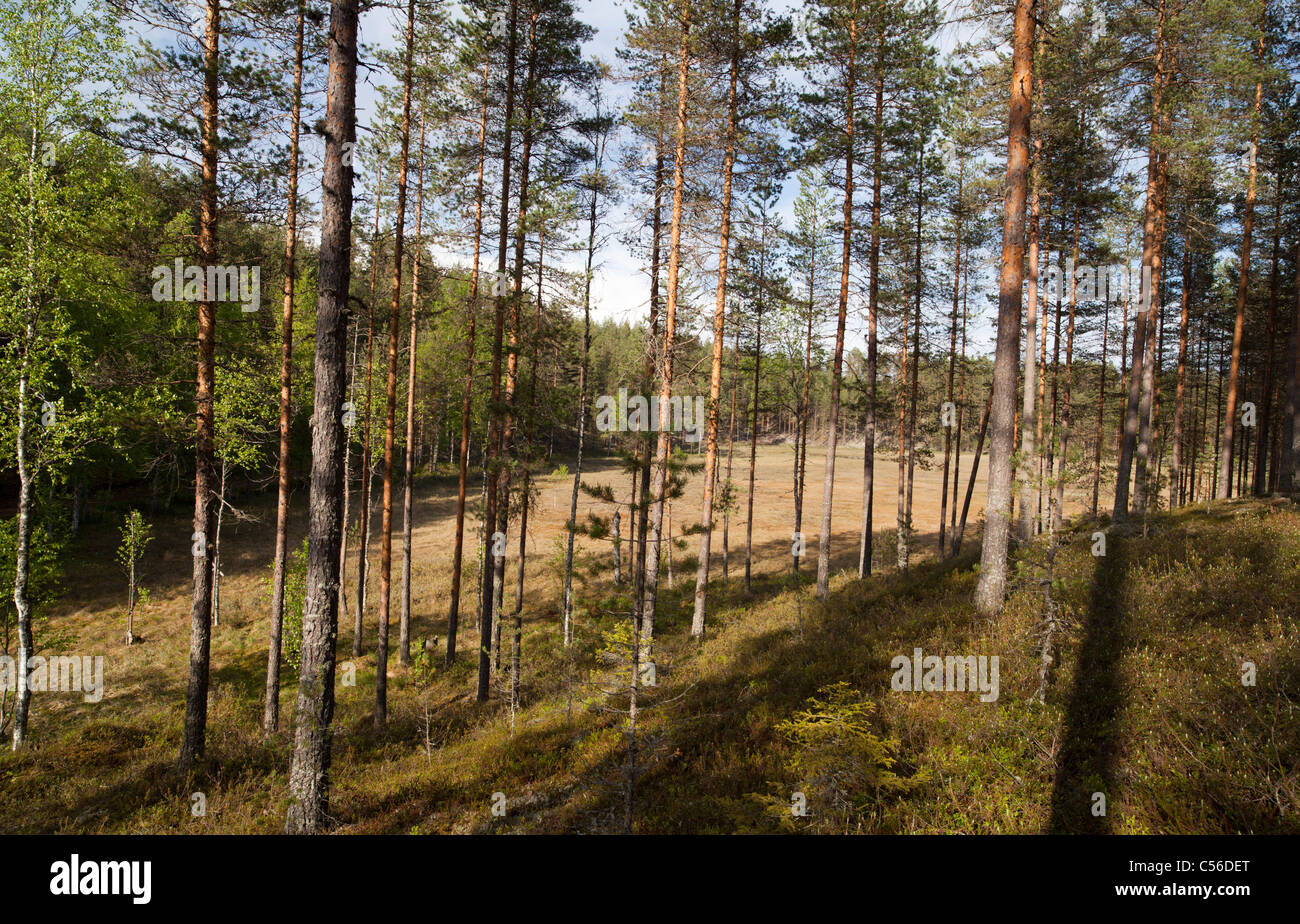 Finnish esker landscape with young pine ( pinus sylvestris ) forest and swamps between esker ridges , Finland Stock Photo
