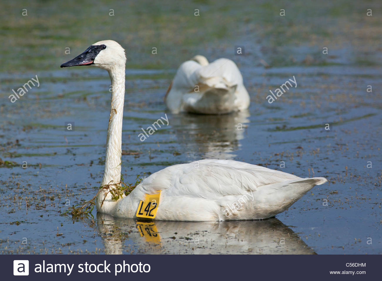 Tagged Trumpeter Swan or Olor buccinator feeding in a pond in Rouge National Park an urban wilderness in Toronto Stock Photo