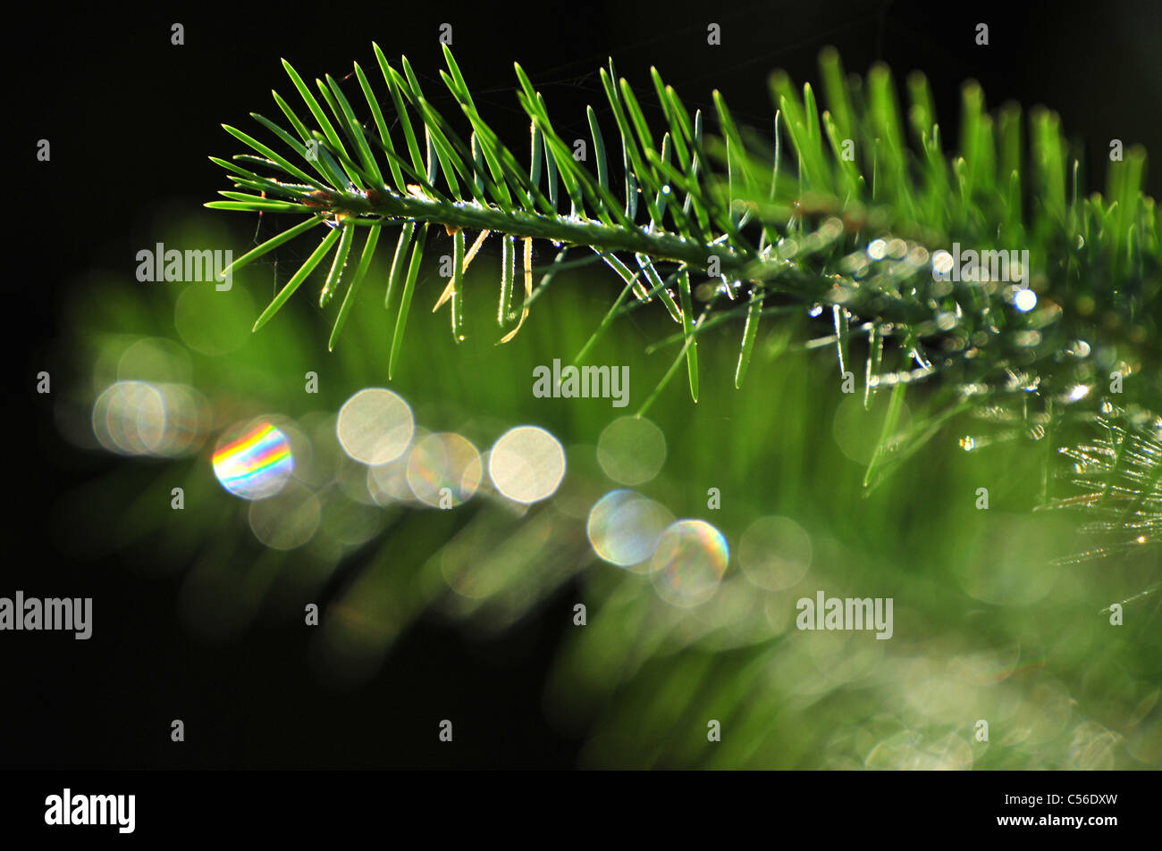 Pine boughs on Mount Lemmon, Santa Catalina Mountains, Coronado National Forest, Sonoran Desert, Summerhaven, Arizona, - Stock Image
