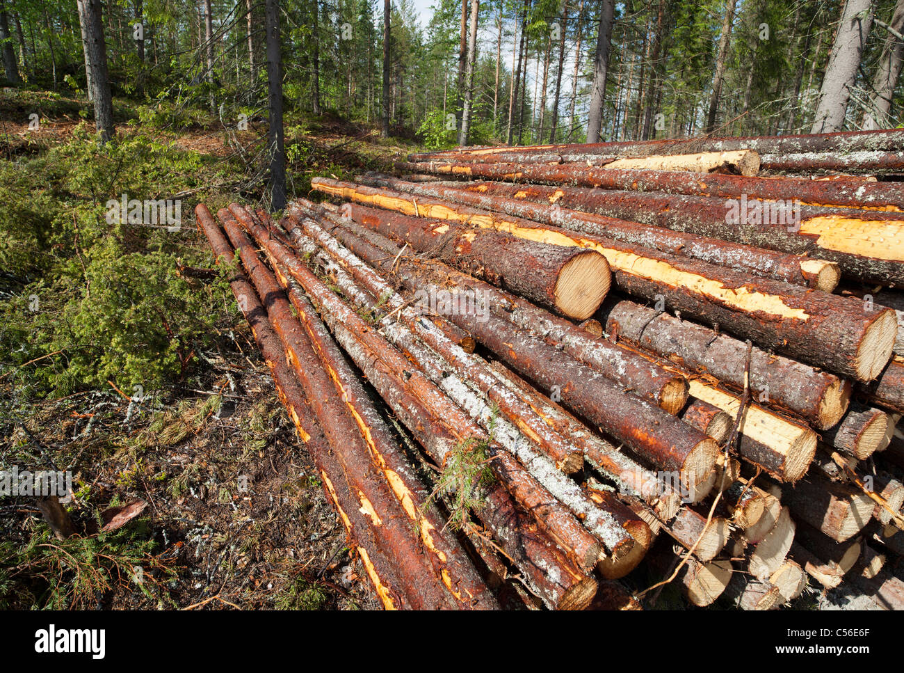 Small pile of freshly cut spruce ( picea abies ) logs , Finland - Stock Image