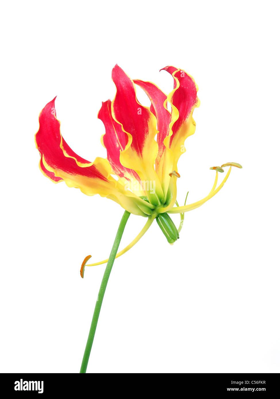 Gloriosa flower isolated Stock Photo