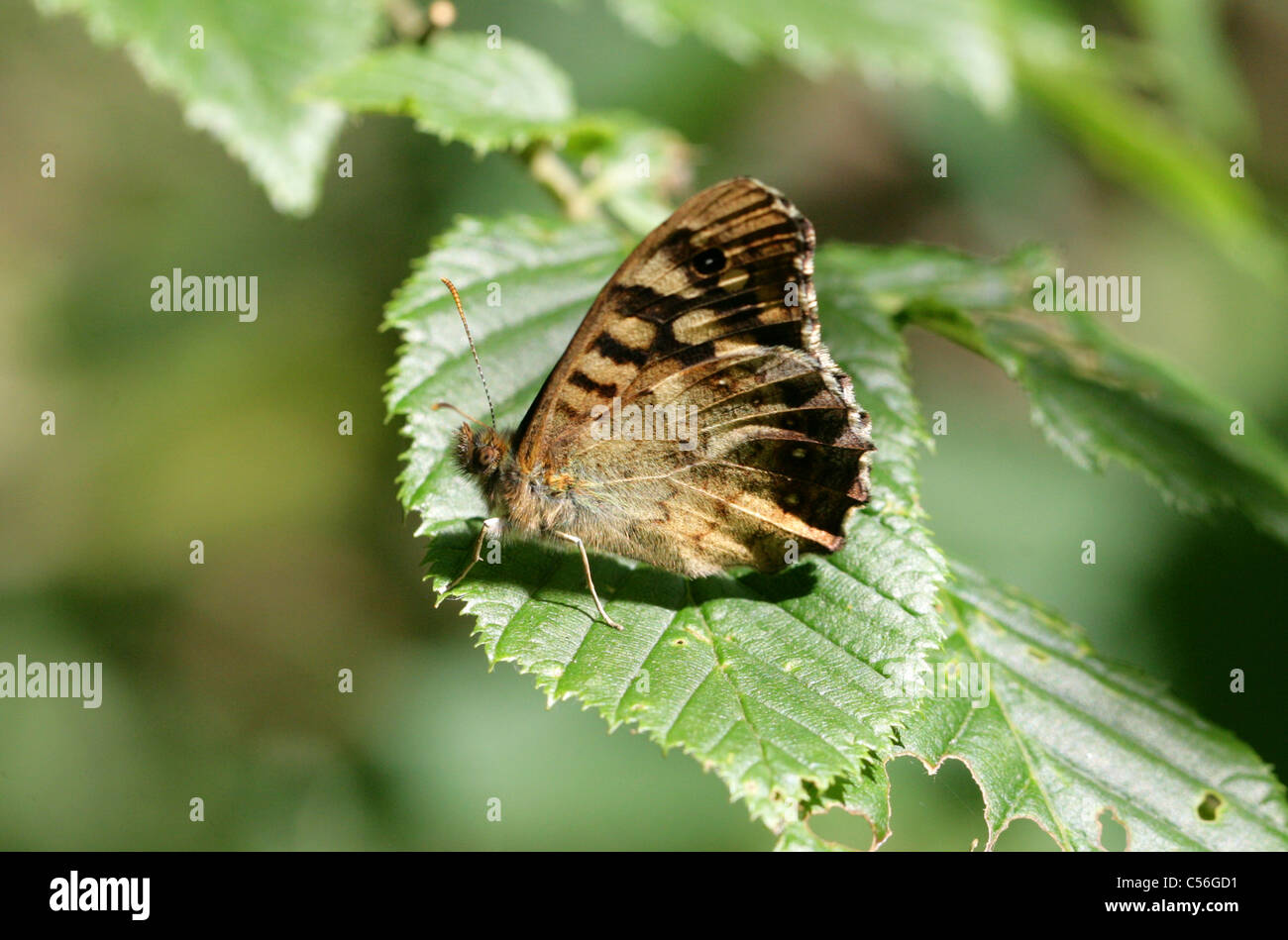 Speckled Wood Butterfly, Pararge aegeria, (Satyridae) Nymphalidae, Lepidoptera. - Stock Image