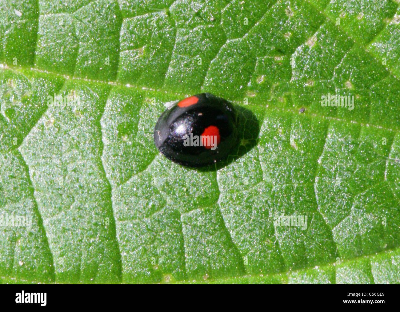 Two-spotted Ladybird or Lady Beetle, Adalia bipunctata syn Macrosiphum rosae, Coccinellidae. - Stock Image
