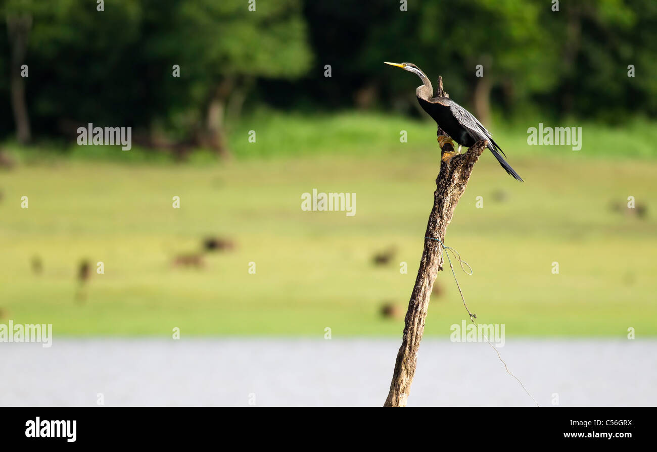 A darter sitting on a tress stump - Stock Image