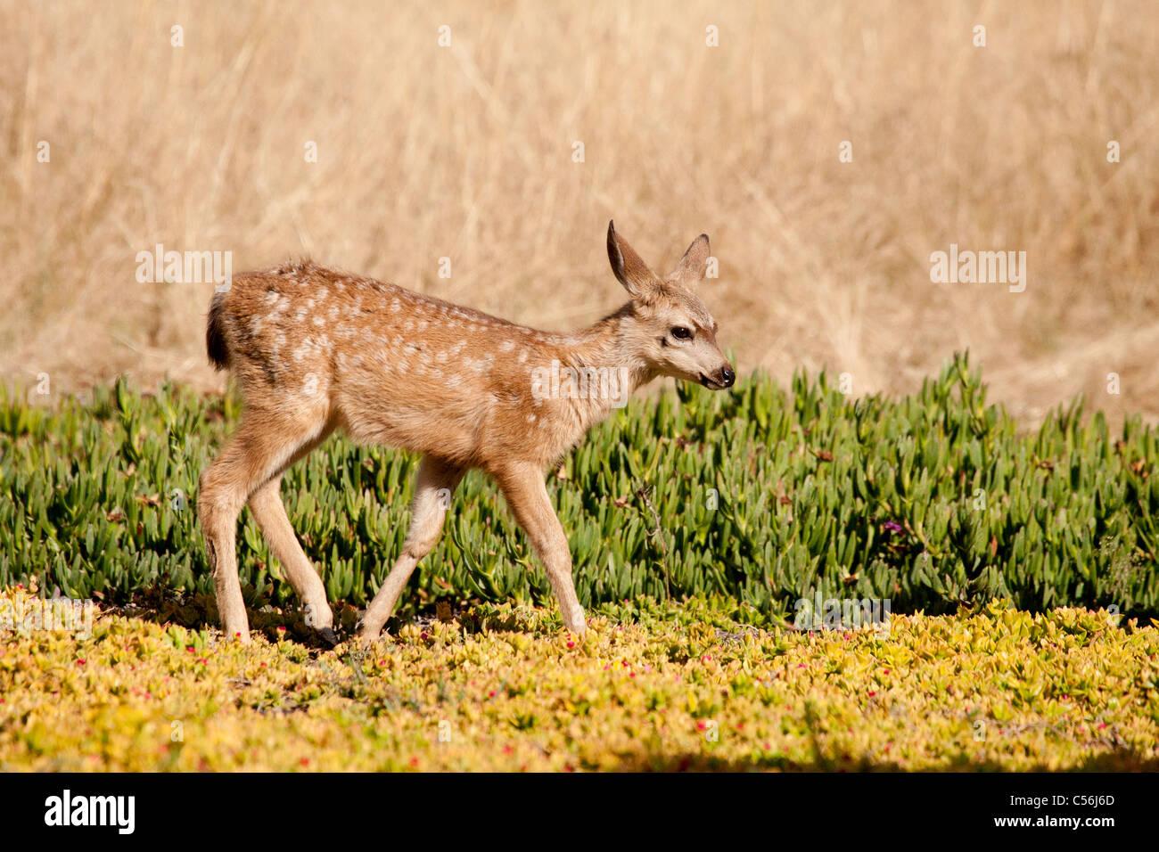 Mule Deer Fawn - Stock Image
