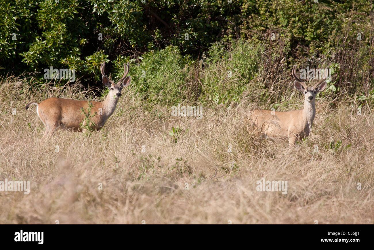 Two Mule Deer Bucks - Stock Image