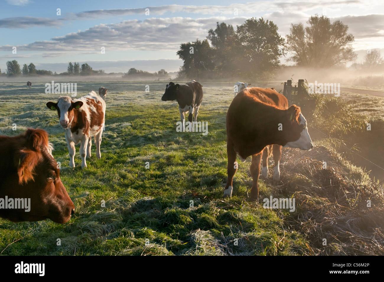 The Netherlands, Nederhorst den Berg. Cows in morning mist. Sunrise. - Stock Image
