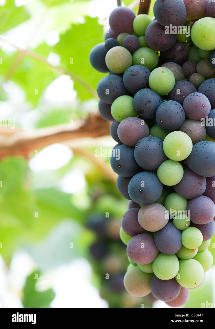 Grapes 'Royal Ascot' ripening inside a greenhouse. 'Grapevine Royal Ascot' - Stock Image