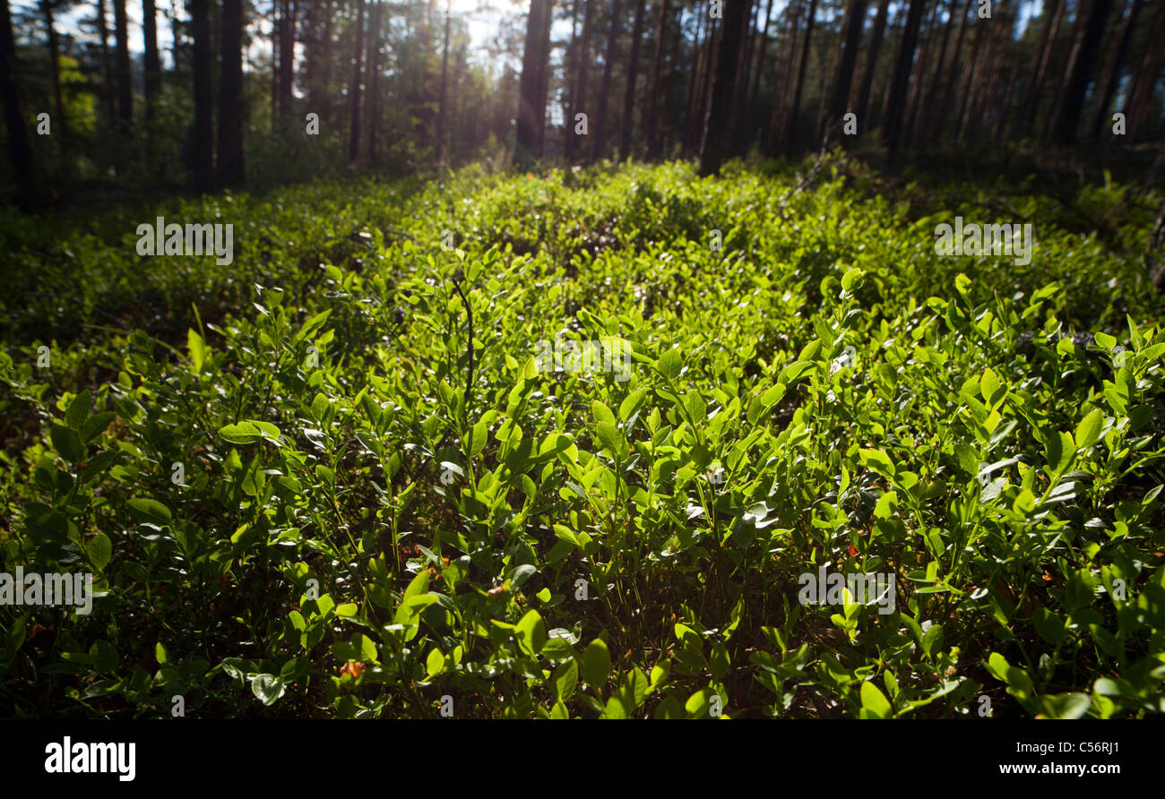 View of wild  blueberry ( Vaccinium myrtillus ) bushes at Spring - Stock Image