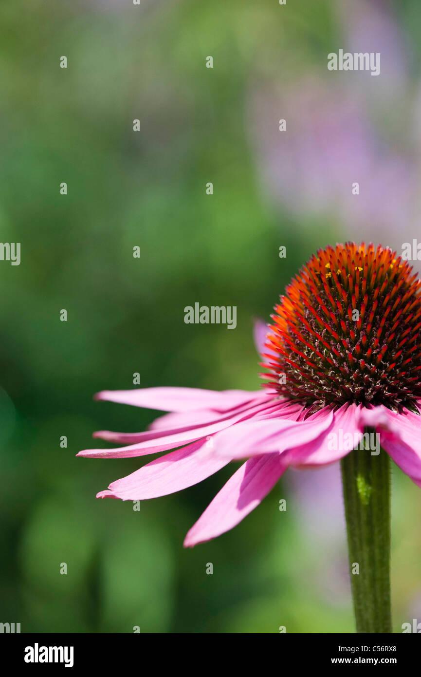 Echinacea purpurea 'magnus' coneflower Stock Photo