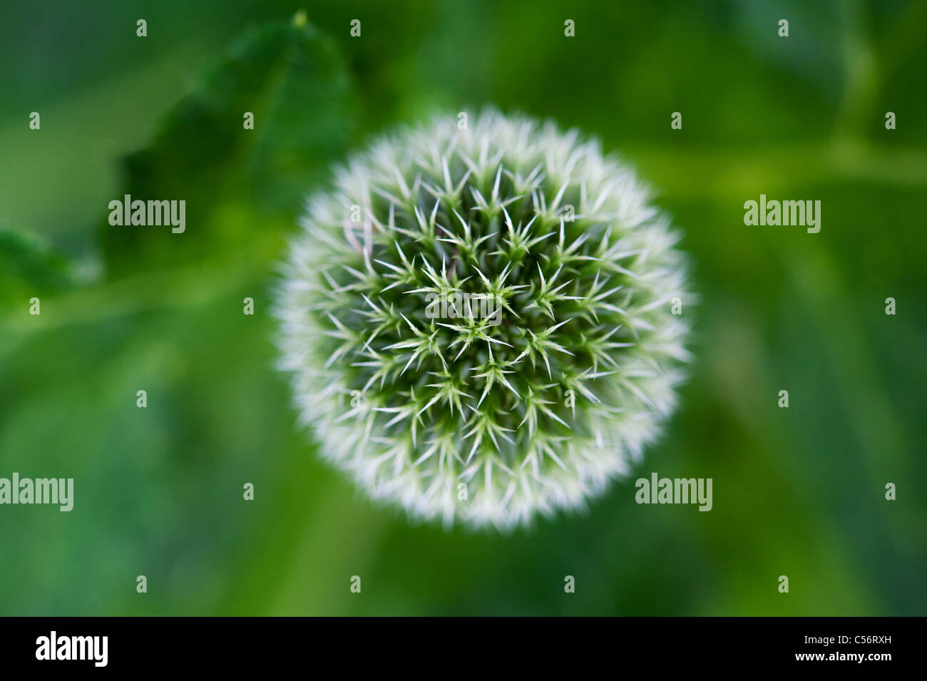 Echinops bannaticus Albus . Looking down onto a Globe thistle flower - Stock Image