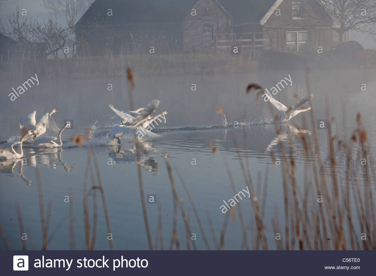 The Netherlands, Weesp, Farm in morningmist near river called Vecht. Mute swans taking off. - Stock Image