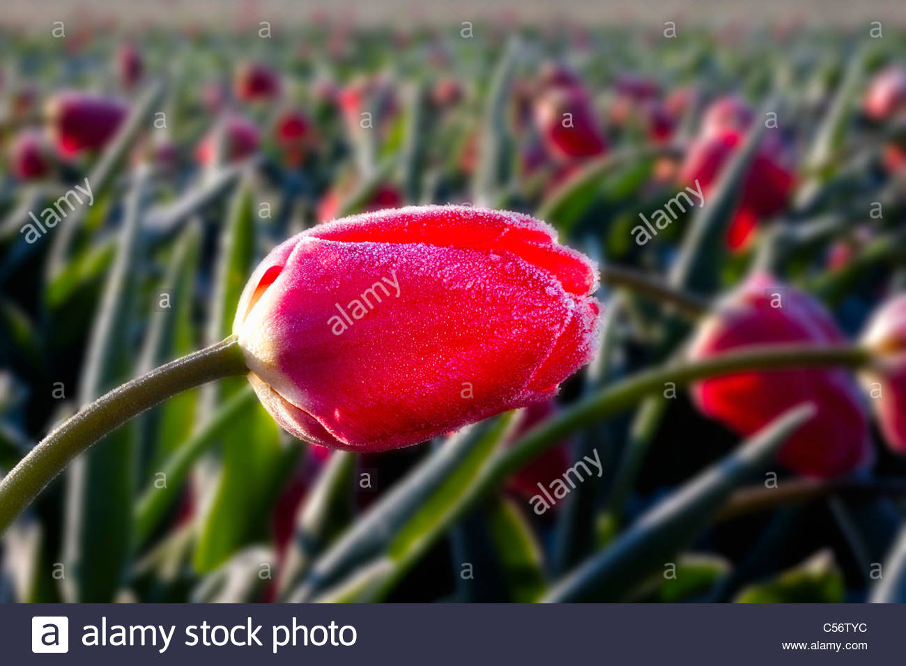 The Netherlands, Callantsoog, Flowering tulips. - Stock Image