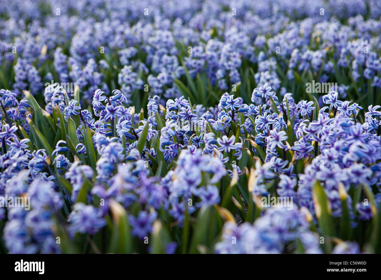 The Netherlands, Callantsoog, Flowering hyacinths. - Stock Image