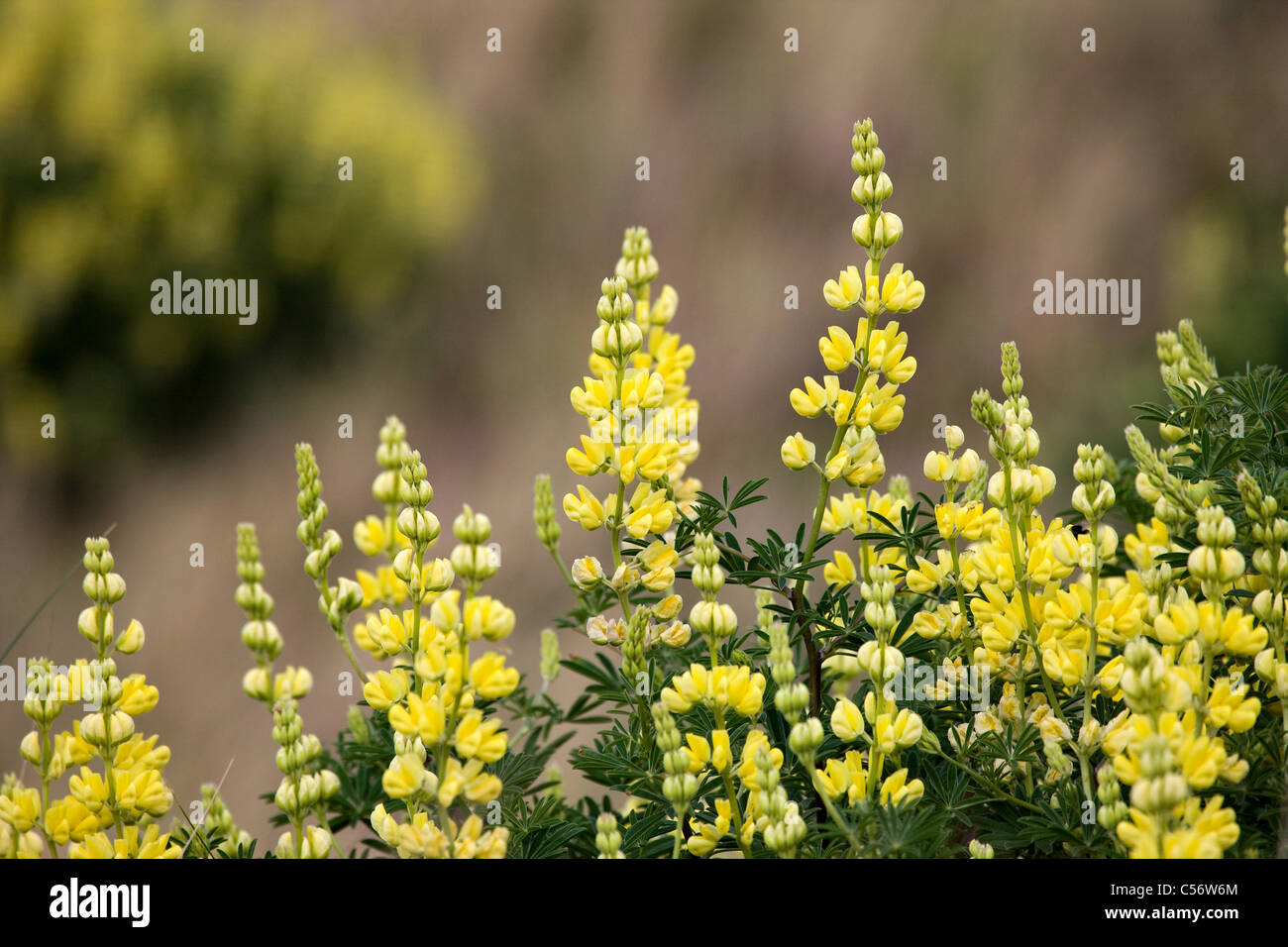 Tree Lupin Lupinus arboreus lemon yellow flowers growing in sand dunes at Dawlish warren Devon Stock Photo