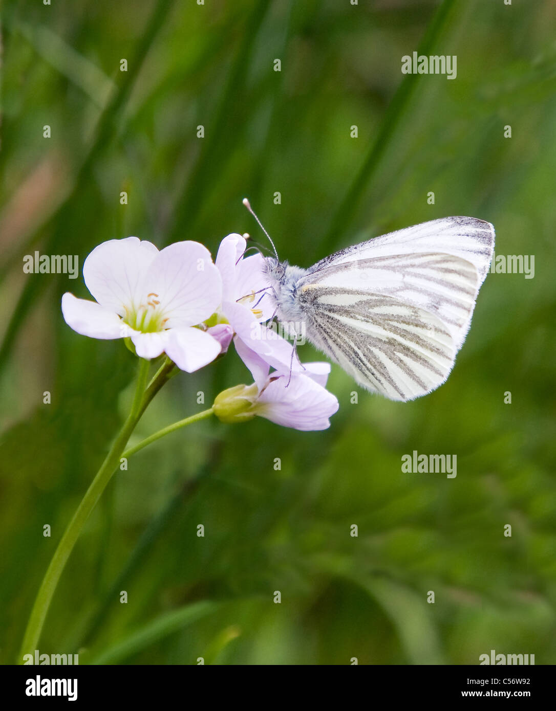 Green Veined White butterfly Pieris napi feeding on Lady's Smock or Cuckoo Flower - Stock Image