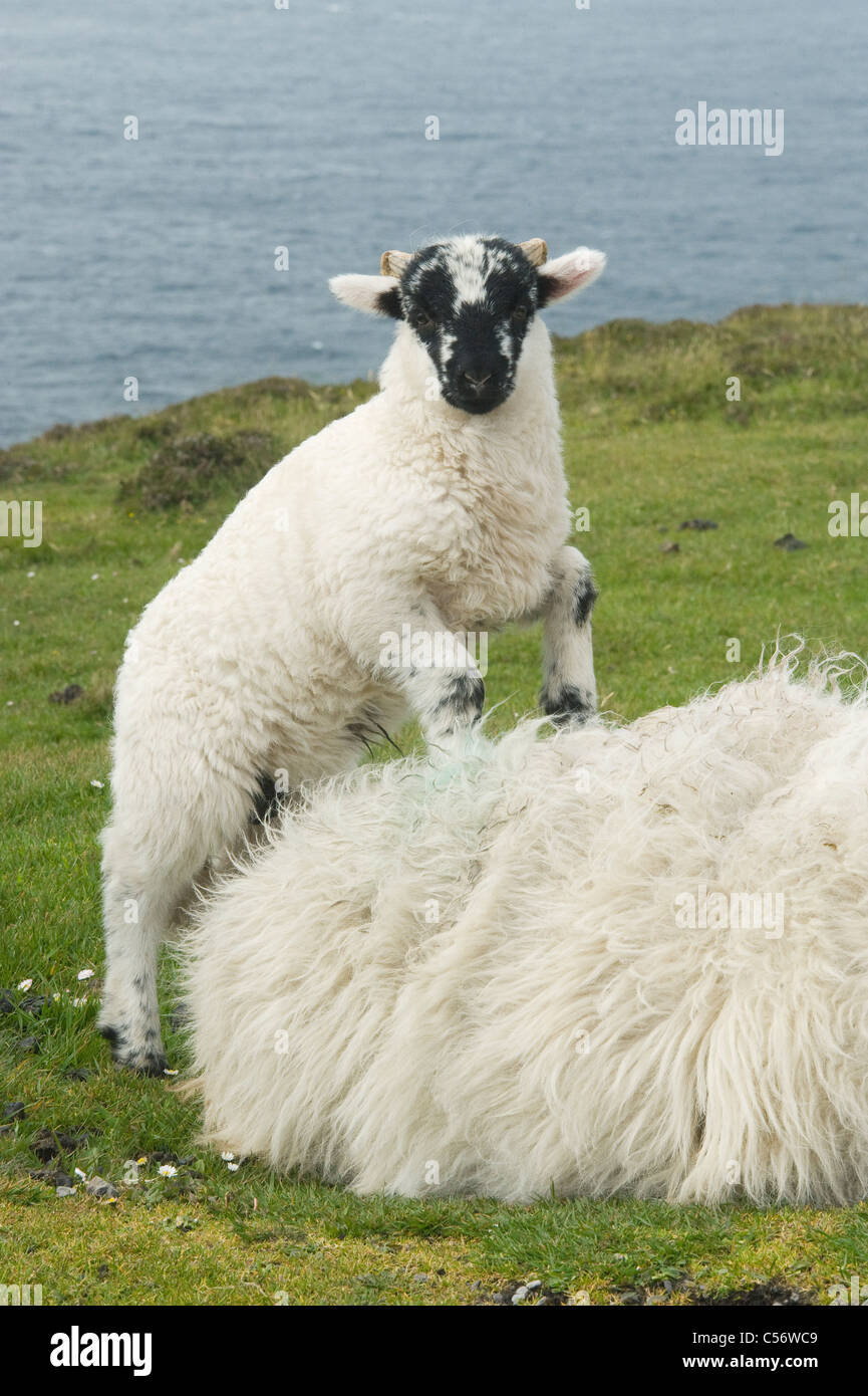 Black-faced Sheep and Lamb, Dingle Peninsula, Western Ireland - Stock Image