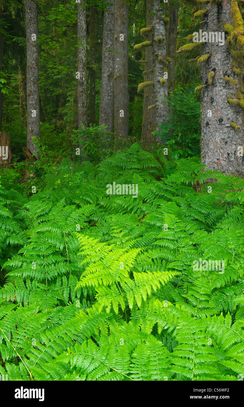 Bracken Ferns and Sitka Spruces, Temperate Rainforest, Hoh River Valley, Olympic National Park, Washington - Stock Image