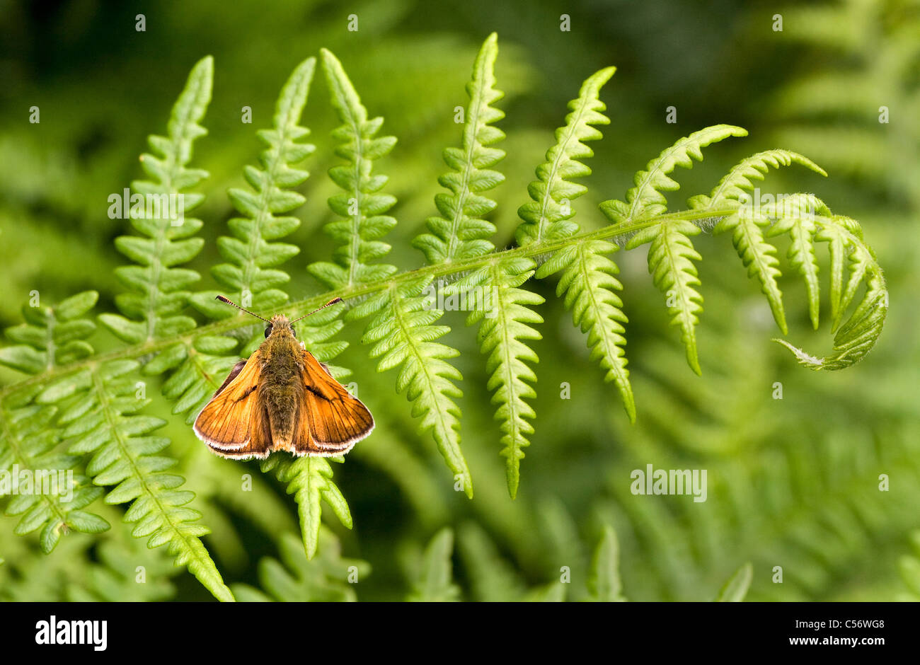 Male Large Skipper Ochlodes sylvanus at rest on a frond of bracken - Stock Image