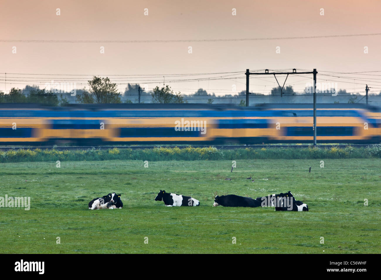 The Netherlands, Weesp, Cows and passing train. - Stock Image