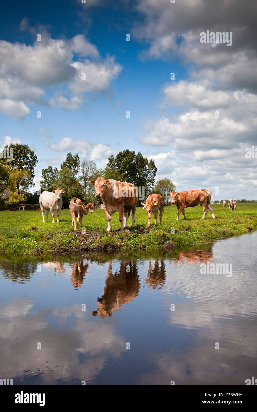 The Netherlands, Weesp, Cows and calves. - Stock Image