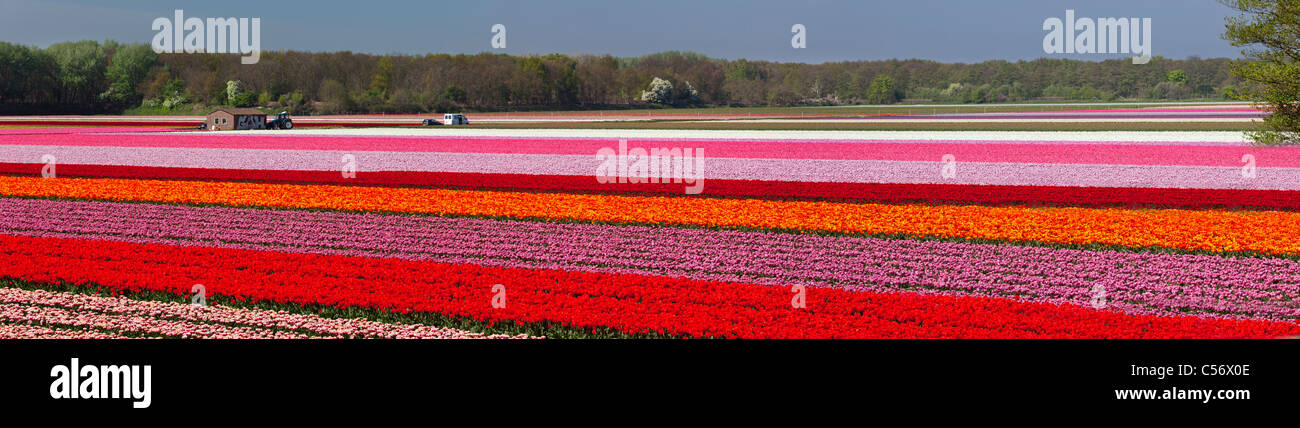 The Netherlands, Vogelenzang, Flower and tulip fields. - Stock Image