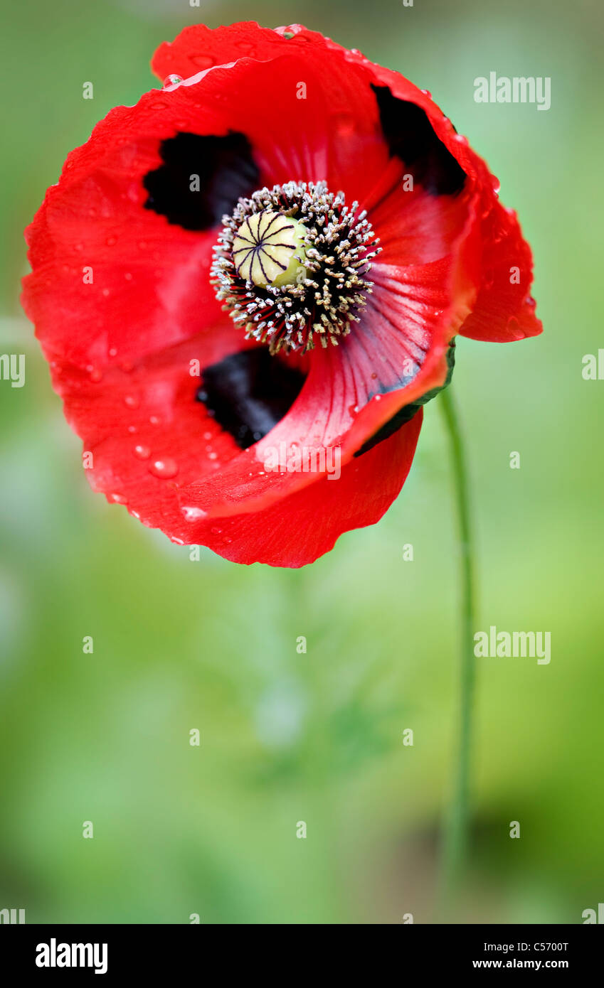 Ladybird poppy - Papaver commutatum - Stock Image