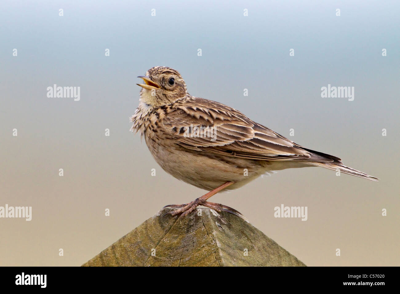 An adult Skylark singing - Stock Image