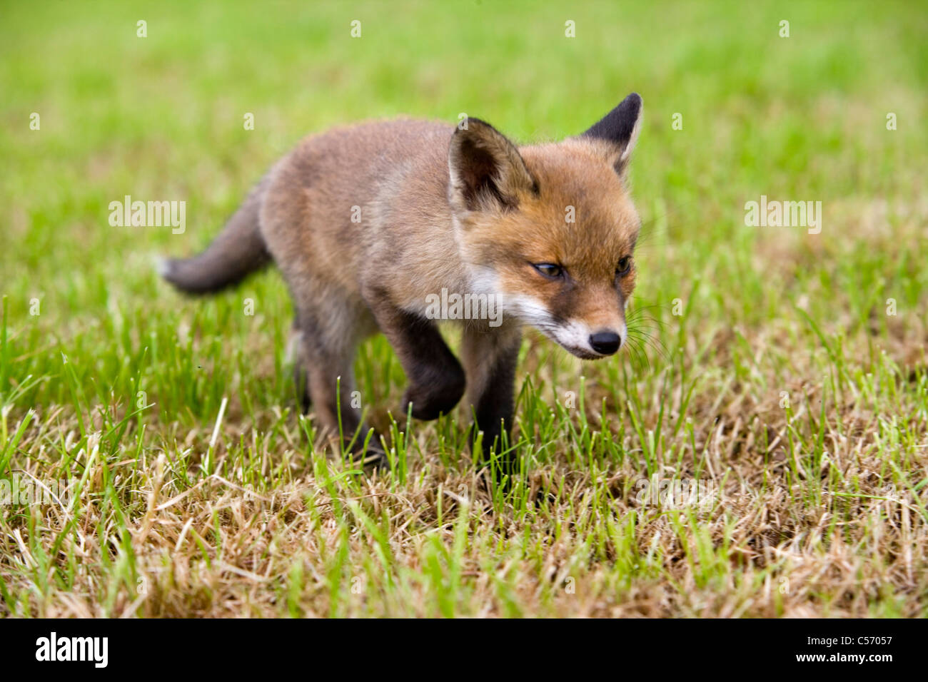 The Netherlands, 's-Graveland. Rural Estate called Gooilust. Young fox who has lost his mother. - Stock Image