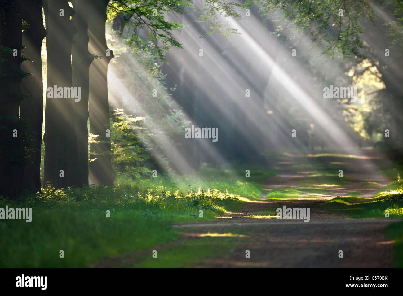 The Netherlands, 's-Graveland, Beech forest road. Rural estate called Gooilust. Sunrays in morning mist. - Stock Image