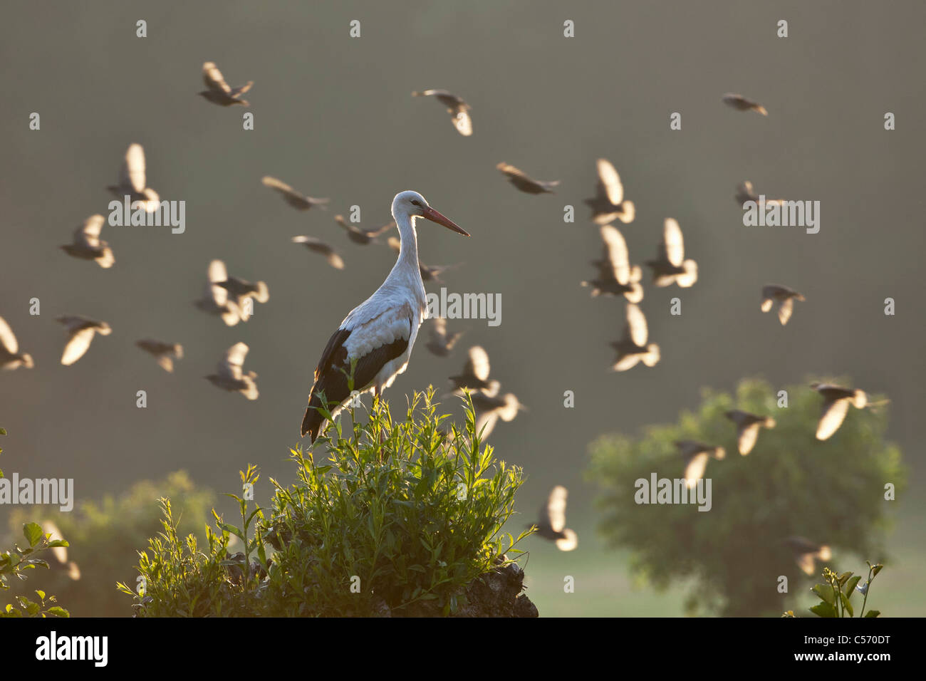 The Netherlands, 's-Graveland, Stork perched on branch. A flock of starlings flying in background. - Stock Image