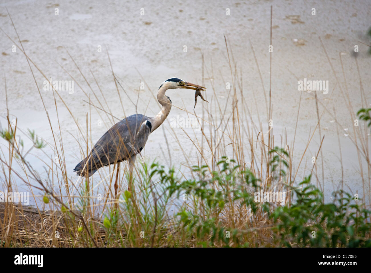 The Netherlands, 's-Graveland, Grey heron catching frog in pond. - Stock Image