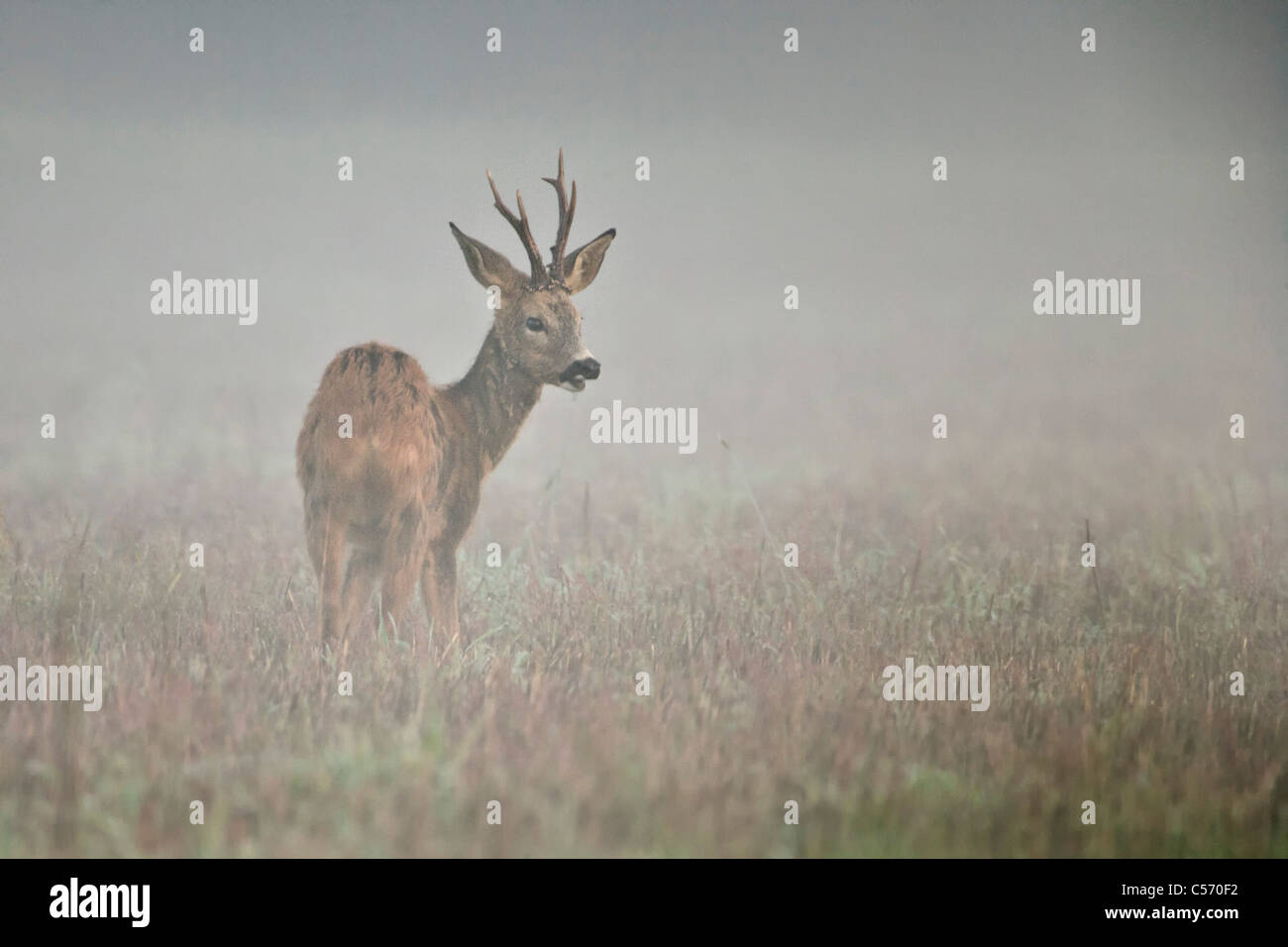 The Netherlands, 's-Graveland, Deer or roe in mist. - Stock Image