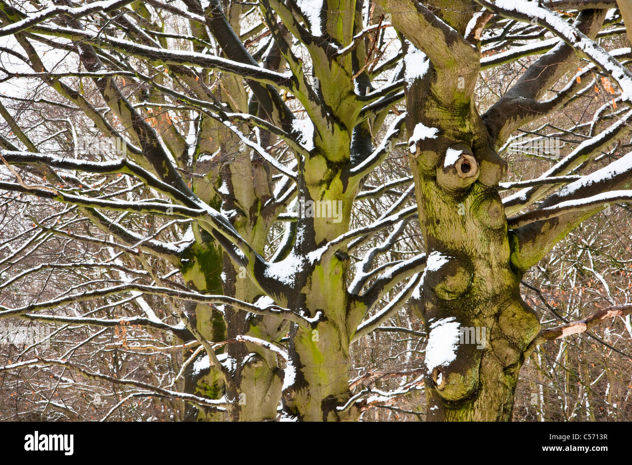 The Netherlands, 's-Graveland, Rural estate called Spanderswoud. Forest beech lane in snow. - Stock Image
